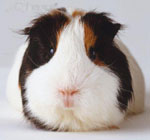 Older Guinea Pigs - Considerations