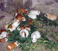 Guinea Pigs in the Wild