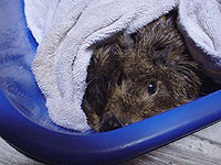 Guinea Pigs Bathing