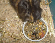 Cavy feeding requirements