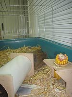 Guinea Pigs Getting ready for your Guinea Pig
