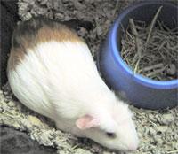 Guinea Pigs Club Cavy Pregnancy
