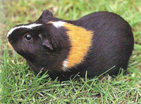 Guinea Pigs Life Span and Vision