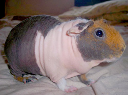Skinny Pigs Information