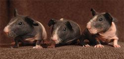 Pet buyers snap up 'skinny pigs'